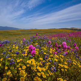 Wild Flower, Warner Springs by Patrick Flood - Landscapes Prairies, Meadows & Fields ( canon, gold cups, blubells, owls clover, photosbyflood, warner springs, wildflower, california )