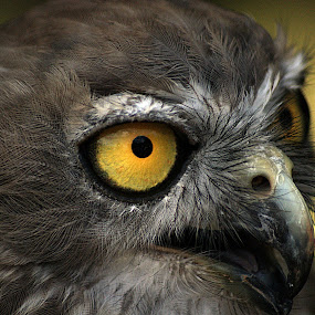 Barking Owl by Joanne Draper - Animals Birds ( bird, nature, australia, owl, wildlife )