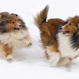 Shelties in the snow by Trent Eades - Animals - Dogs Running ( playing, snow, shelties, sheltie, running )