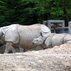 Rhinoceros 3 by Anita Berghoef - Animals Other Mammals ( mammals, animals, zoo, nature, rhinoceros, nature up close, rhino, baby rhinoceros, mammal, animal )