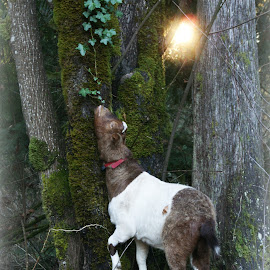 Friar Tuck the Goat by Terri Kvetko Gonzalez - Animals Other ( goat, trees, ivy, sunlight, woods, animal,  )
