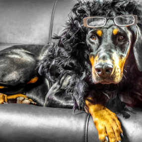 Queen of Sheba by Petra Bensted - Animals - Dogs Portraits ( pet, dog, doberman, portrait )