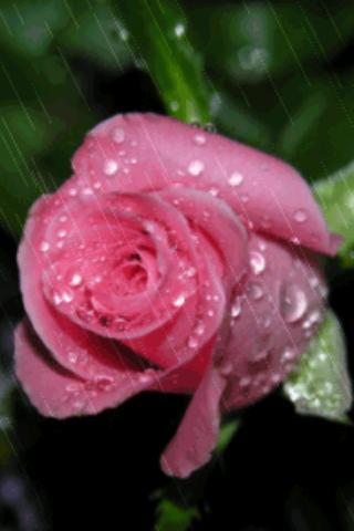 Rain On Pink Rose Live Wallpap