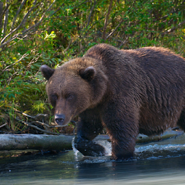 Watchful Stroll by Ken Miracle - Animals Other Mammals ( grizzly, bear, alaskan, alaska, walking bear )