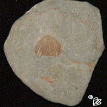 Fossils of Northeast Ohio