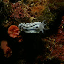 Willan´s chromodoris