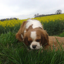 snooze by Michelle Moore - Novices Only Pets ( cavalier, grass, trees, laid, fields )