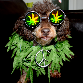 Hippie Harley by Lin Fauke - Animals - Dogs Portraits ( harley, grass, drugs, weed, costume, puppy, dog, halloween,  )
