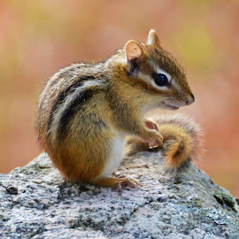 Happy Chipmunk by Sophie Calhoun - Animals Other Mammals ( happy, outdoors, chipmunk, cute, rodent, animal )