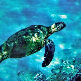1292 Turtle by Deidre Elzer-Lento - Animals Sea Creatures ( water, coral, turtle., 2013, underwater, fish, photos by dee, travel, snorkle, wwii* hawaii, hawaii,  )