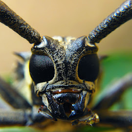 B. Rufomaculata by Rizki Irfansyah - Animals Insects & Spiders ( batocera, longhorn, rufomaculata, asian,  )