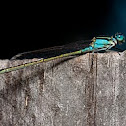 Common Bluetail Damselfly