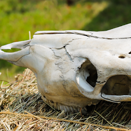 Animal skull by Nancy Merolle - Artistic Objects Other Objects ( skull, animal skull, old, desert, bones, artistic object )