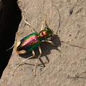 Carolina Metallic Tiger Beetle