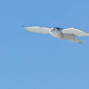 Snow Owl  by Suann Vandewalker - Animals Birds ( snow, owl )