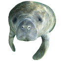 Manatee Head Sticker icon
