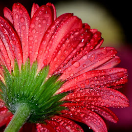 by Vishal Bhatnagar - Flowers Single Flower