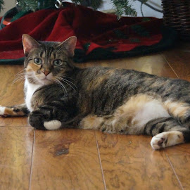Jazzmin by Donald Henninger - Animals - Cats Portraits ( cat, texas, inside, cat portrait, christmas, stripes, portrait,  )