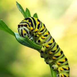 Monarch Caterpillar by Herb Houghton - Animals Insects & Spiders ( herbhoughton.com )