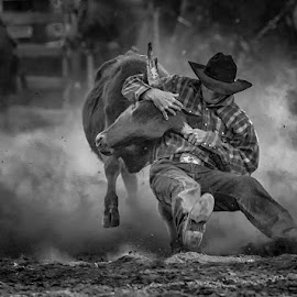 Bulldogging by Sue Niven - Sports & Fitness Rodeo/Bull Riding ( black and white, cowboys, rodeo, cow, bulldogging )