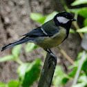 Great Tit, Carbonero común