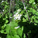 Garlic Mustard; Mustard family.