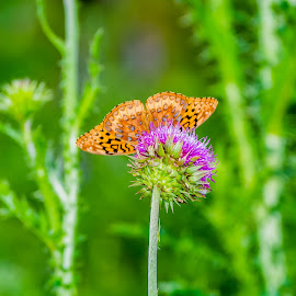 Butterfly and Thistle by Joseph Martinez - Animals Insects & Spiders ( orange, butterfly, thistle, nature, purple, green, d5200, yellow, insects, purple flower )