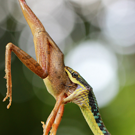 by Yustinus Slamet - Animals Reptiles