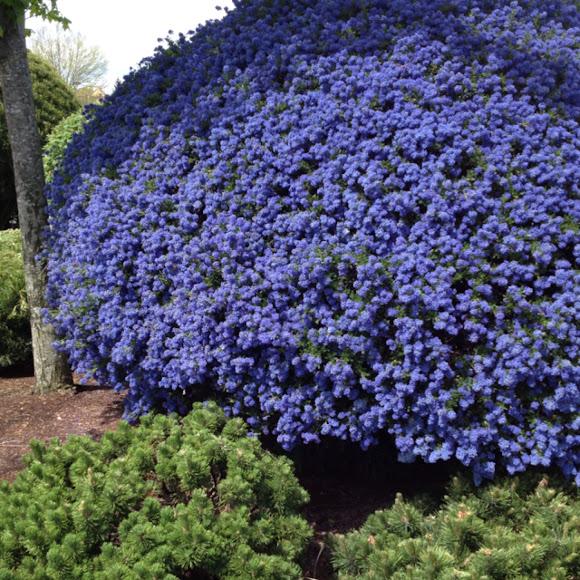 california lilac 39 blue sapphire 39 project noah. Black Bedroom Furniture Sets. Home Design Ideas