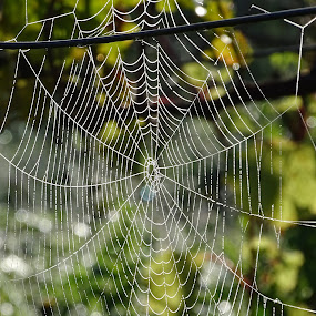 morning work by Boris Romac - Nature Up Close Webs ( sony, macro, croatia, coguar, web, dsc, hx400v,  )