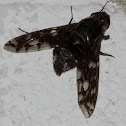 Tiger Bee Fly