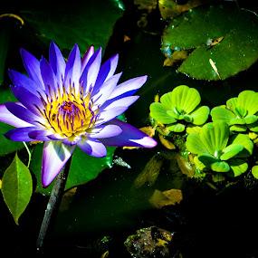 Thermal Lotus at Baile Felix, Romania. by Jean Bogdan Dumitru - Flowers Single Flower ( baile felix, therlal lotus, lotus flower )