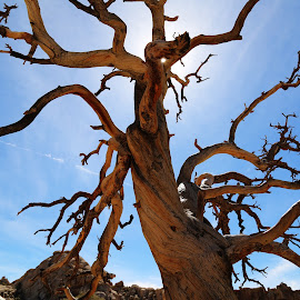 Death by Travis Spencer - Nature Up Close Trees & Bushes ( desert, death, joshua tree national park, sun, dead tree )