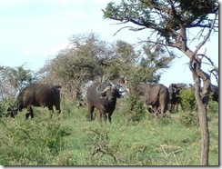 buffallo1