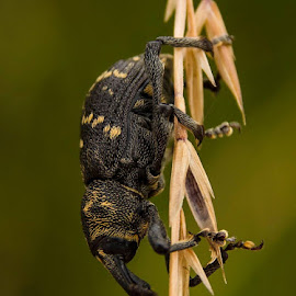 weevil by Peter Bartlett - Animals Insects & Spiders (  )