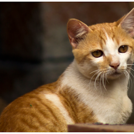 Ginger by Pratik Singh - Animals - Cats Kittens ( looking, brown eyes, look back, ginger, moustache, ginger cat )