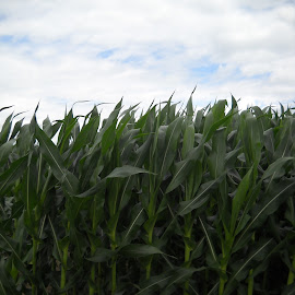 by Emilie Walson - Nature Up Close Gardens & Produce ( clouds, sky, northern indiana, flatland, corn )