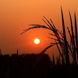 Sunset in Paddy Field by Prithwish Mondal - Landscapes Sunsets & Sunrises