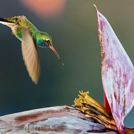 Hummer by John Matzick - Animals Birds ( tiny, humming-bird, hummingbird, fragile, quick, wildlife, energetic, bird flying, pollination, feathers, pretty, humming bird, bird, flying, delicate, isolation, wings, pollinate, flying bird, fast, energy, swift, animal )