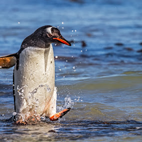 Gentoo Frolickin' by Jay Gould - Animals Birds ( gentoo penguin, falklands, cheesemans, 2010, birds )