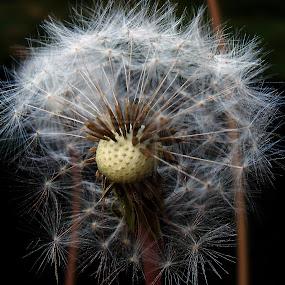 Dandelion 3 by Lolotan Dalimunthe - Flowers Single Flower ( dandelion, white, falling, bald, brussels, lolotan )