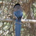 Azure-winged Magpie; Rabilargo