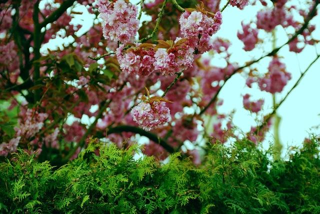 roosaõiepuud