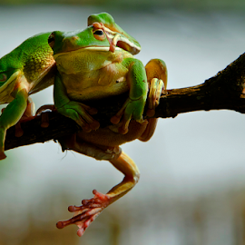 Let Me Through  by Choky Ochtavian Watulingas - Animals Amphibians ( animals, frog, green, csv, frogs, amphibians )