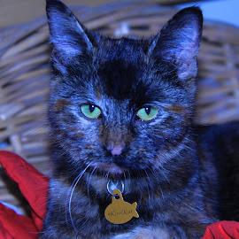 #KoolKat by Deb Bulger - Animals - Cats Portraits ( cats, kitten, cat portrait, green eyes )