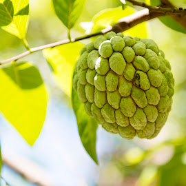 Sugar apple or Anon Hanging on Tree by Roberto Machado Noa - Nature Up Close Gardens & Produce ( plant, juicy, custard, tropical, one, leaf, vegetation, hanging, farm, anon, tree, nature, climate, gourmet, fruit, green, refreshment, agriculture, growing, country, unripe, organic, sweet, food, apple, outdoors, ripe, eating, healthy, branch, freshness, natural, garden, growth, sugar, produce )