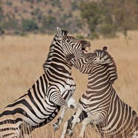 Zebra by Dirk Luus - Animals Other Mammals ( playing, zebra, stripes, mammal, animal )