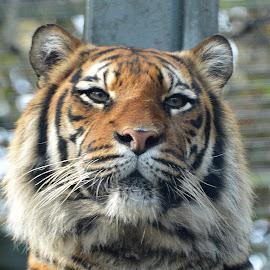 Baginda by Dorothy Thomson - Animals Lions, Tigers & Big Cats ( big cat, edinburgh, zoo, tiger, sumatran )