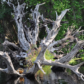 Tree Roots & Turtle by Sally  Wolever - Nature Up Close Trees & Bushes ( tree stump, turtle, river )
