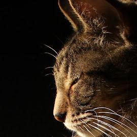 Peace by Kristin Bruner Shriver - Animals - Cats Portraits ( cat sun sleep,  )
